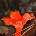 Cinnabar Red Chanterelle