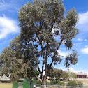 tuart tree