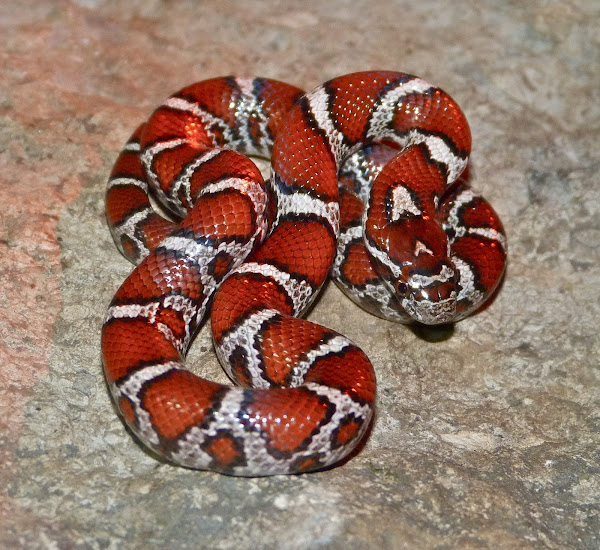 Milk snake (Juvenile Eastern x Red intergrade) | Project Noah
