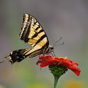 papilo multicaudatus