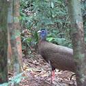 Great argus pheasant - male