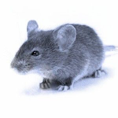 Mouse In Your Pocket Sounds