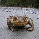 Common toad, European toad