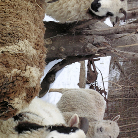 Counting Sheep by Norma Moore - Animals Other Mammals ( snow, sheep )