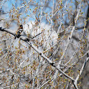 Black Headed Grosbeak