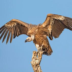 Griffon vulture by Prasanna AV - Animals Birds