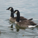 Canada Geese part 3