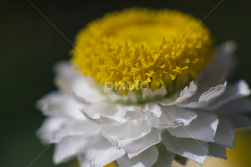 White Flower With Yellow Center Single Flower Flowers Pixoto