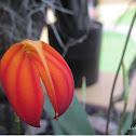 Masdevalia Orchid (Banderita)