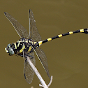 Common Clubtail