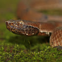 Hump nosed Pit Viper