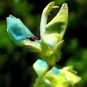 Silverleaf desmodium flower