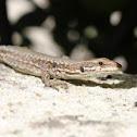 Common wall lizard - Lézard des murailles