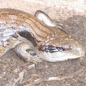 Eastern Blue Tongued Lizard