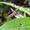 Elephant Mosquito