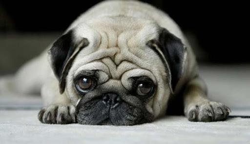 Imágenes Bulldog Francés