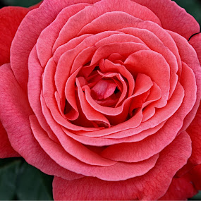 Rose by Steve Friedman - Flowers Single Flower ( rose,  )