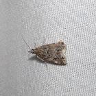 Scopariinae moth