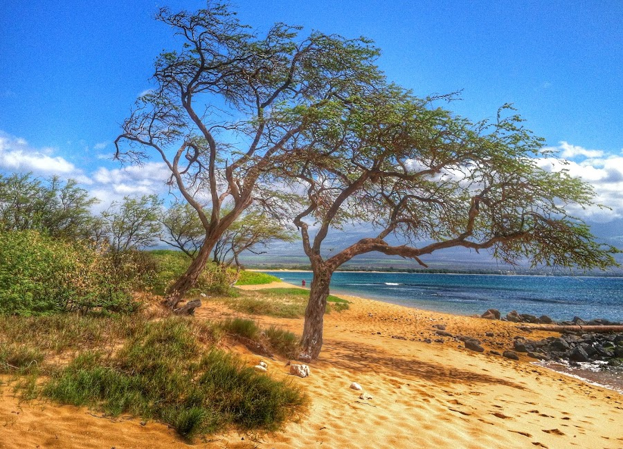 Iron Wood Trees by Christy Sawyer - Landscapes Beaches ( tree beach water sand )