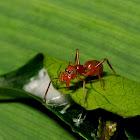 Weaver Ant-Like Jumping Spider