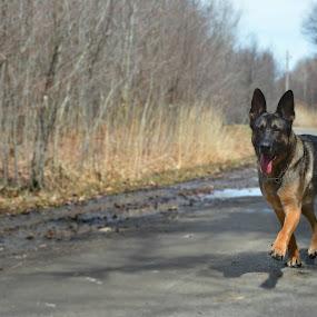 by Sarah Poirier - Animals - Dogs Portraits ( german shepherd sable walking )