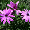 Dimorphotheca ecklonis (Cape marguerite, Van Staden's River daisy, Sundays River daisy, Star of the Veldt