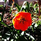 Tulip: Red