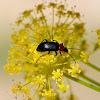 Darkling beetle, Toro de Sol