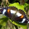 common eggfly