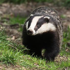 Badger. by Mark Milham - Animals Other Mammals ( canon, nature, wildwoods, sigma, badgers, badger )