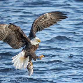 Water Dancer by Mark Theriot - Animals Birds ( water, eagle, fish, bald eagle )