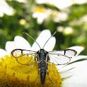 Lesser Peachtree Borer Moth