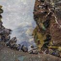 New Zealand green-lipped mussel (Kuku)