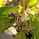 Black-dotted Spragueia Moth