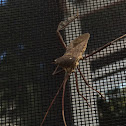 Florida Leaf Footed Bug