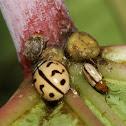 Indian Wave Striped Ladybug , Leaf Beetle ,Unknown bug
