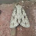 Lobelia Dagger Moth