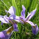 Blue-flag Iris