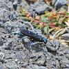 Blue Sphecid Wasp