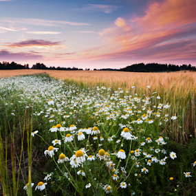 Daisies field by Eriks Zilbalodis - Landscapes Sunsets & Sunrises ( field, nature, sunset, daisies, landscape )