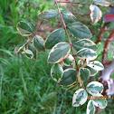 myrtus glanleam