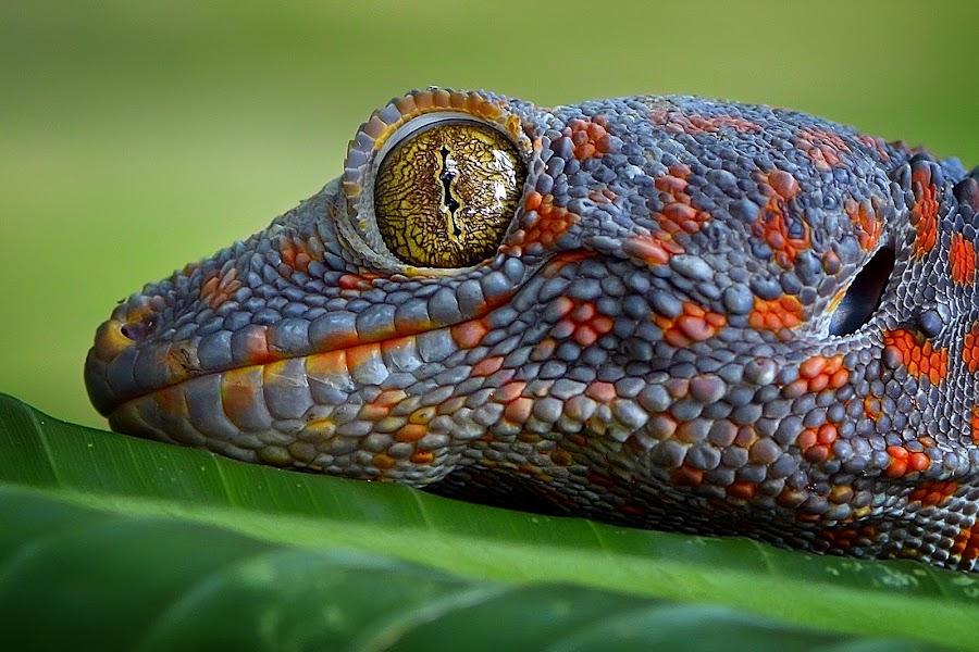yellow eyes by Rhonny Dayusasono - Animals Reptiles