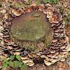 Common stump brittlestem