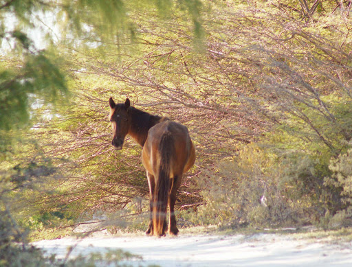 horse-grand-turk - Grand Turk is one of those places where horses, burros and donkeys roam free.