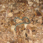 Red-tailed Pipe Snake