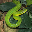 Red-tailed rat snake