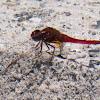 Broad Scarlet Dragonfly