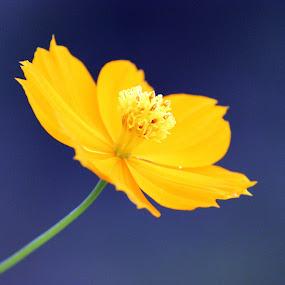 neon yellow by Arjun Madhav - Flowers Single Flower ( petals, yellow, morning, small, flower,  )