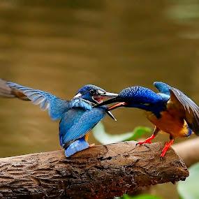 Half-collared Kingfisher  Alcedo semitorquata  by Chris Krog - Animals Birds ( blue, kingfisher, alcedo, semitorquata, half-collared,  )