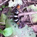 Dice Moth larvae